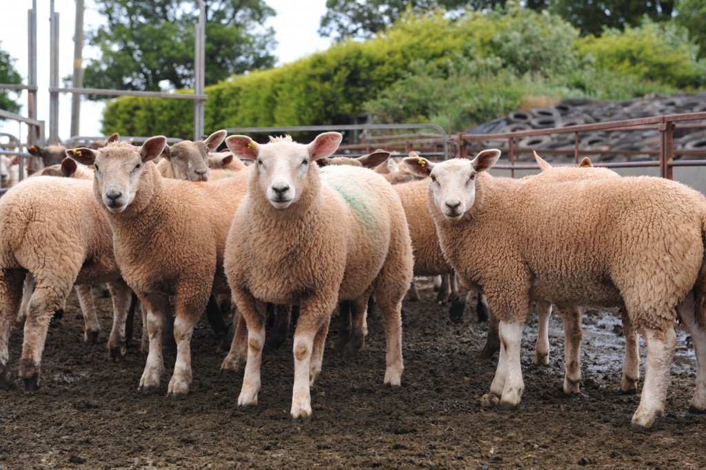 Martin Potter lambs 1