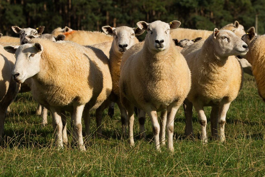 Tupping can be considered as one of the most critical times of the sheep production cycle,