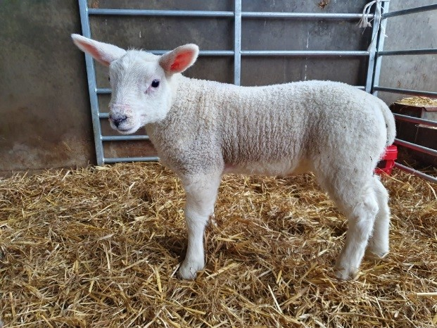 Downland Lamb Force range gets lambs off to a flying start